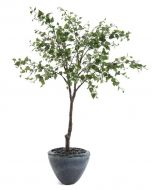 Beech Tree in Glazed Gray Pottery Urn with Black River Rock