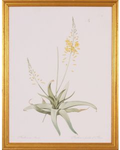 Yellow Anthericum Botanical Lithograph Wall Art in Gold Wood Frame