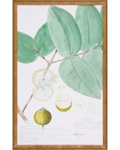 Descubes Fruit I Botanical Lithograph Reproduction Wall Art in Gold Frame
