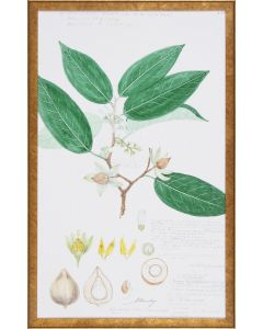 Leaves & Flowers Descubes Fruit IV Botanical Lithograph Reproduction Wall Art in Gold Frame