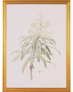 Dracaena Botanical Lithograph Wall Art in Gold Wood Frame