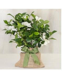 Memorial Gardenia Gift Tree With Optional Engravable Gift Tag