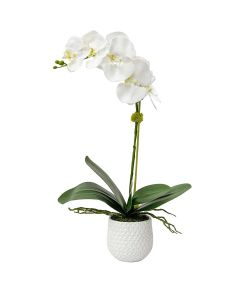 White Orchid with Moss in a Ceramic Pot
