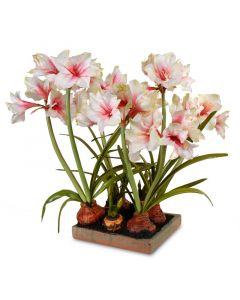 Mauve-White Amaryllis Arrangement in Terracotta Tray