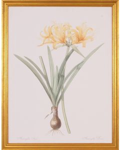 Amaryllis Botanical Wall Art in Gold Wood Frame