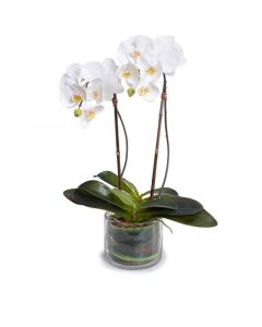 Double Stem White Phalaenopsis Orchid in Glass Bowl