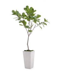 Fiddle Leaf Fig with Mood Moss in a Gray Tarro Planter