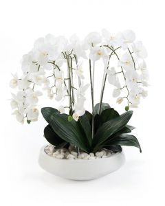 Extreme White Phalaenopsis in White Pottery Bowl