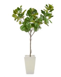Fiddle Leaf Fig in a White Glazed Pottery Pot