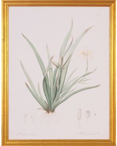 Moraea Botanical Wall Art in Gold Wood Frame