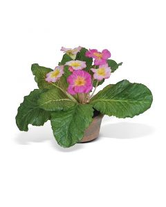 Primula in  Mini Pot, Set of 6