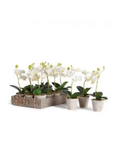 """Set of 12 Mini Phalaenopsis Potted 9"""" Orchids - ON BACKORDER UNTIL MARCH 2021"""