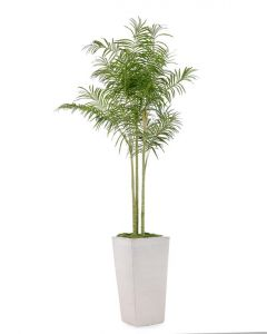 Tall Palm Tree in White Tarro Planter - LOW STOCK