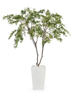 Two Maples in a White Glazed Pottery Pot