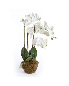 White Phalaenopsis Orchid 30'' Drop-in Arrangement - OUT OF STOCK UNTIL LATE AUGUST 2020
